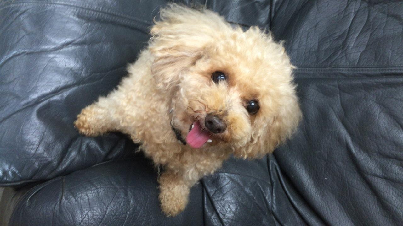 犬 愛犬 トイ プードル ラテ マカロン