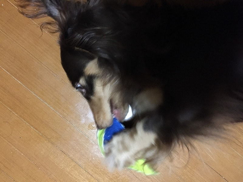 ダックスフンド 犬 ブログ 日記 可愛い